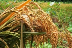 Anuradhapura farmers earn Rs.1,600 million from paddy
