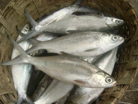 Fish baits to be cultivated locally