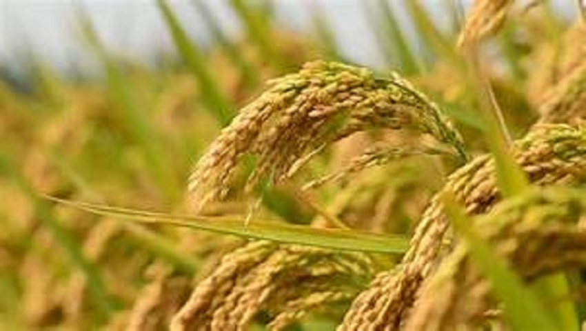 Highest production of paddy reported  in this year