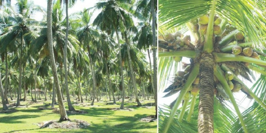Coconut: Potential for a $ 1 b export industry