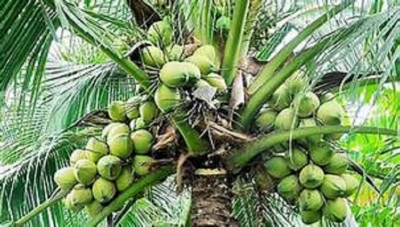 Coconut industry earned Rs.95 bn in export income last year