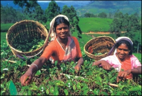Several initiatives to develop  Tea Small Holdings in 2015 Budget
