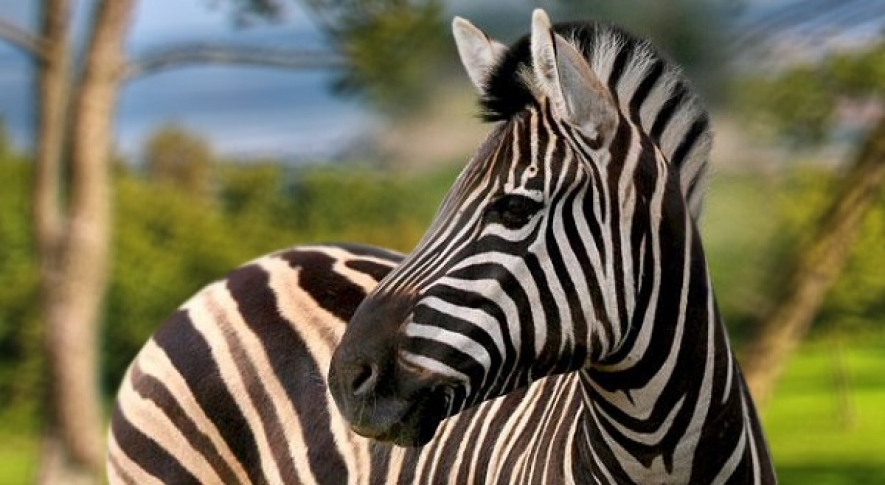 Scientists solve the riddle of zebras' stripes