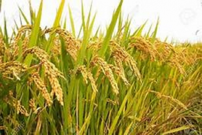 Rs. 5 bn to purchase paddy in the Maha season