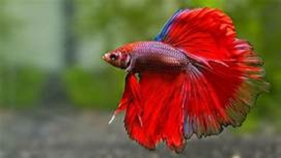 Technology Transfer Programme for Ornamental fish
