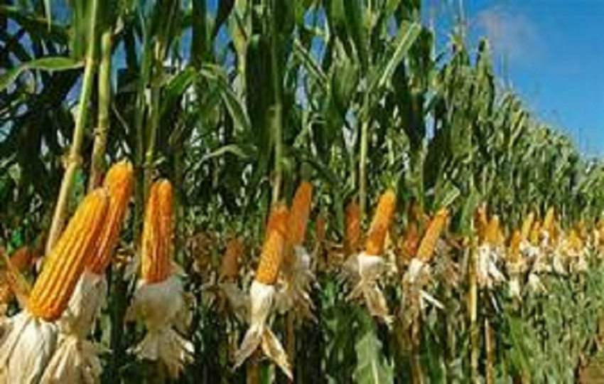Highest maize yield this year, despite 'Sena' attack - Minister