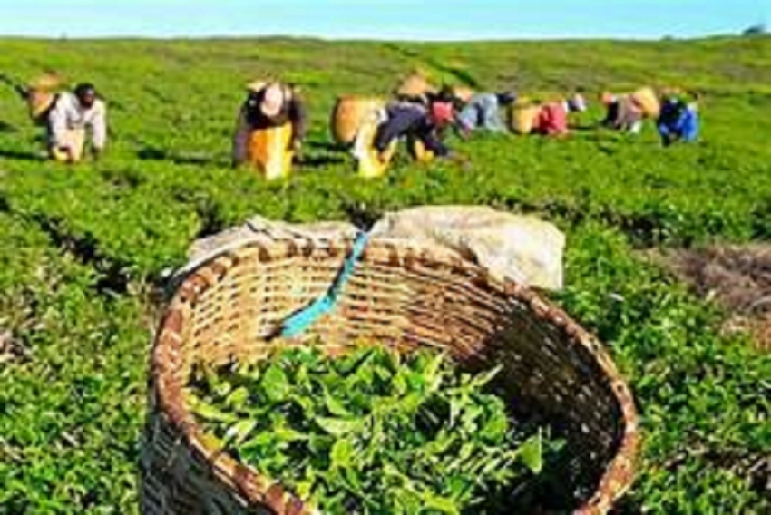 October tea crop up 15%