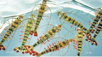 Disease-resistant prawn species to be introduced