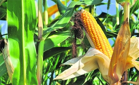 Maize Cultivation to be expanded