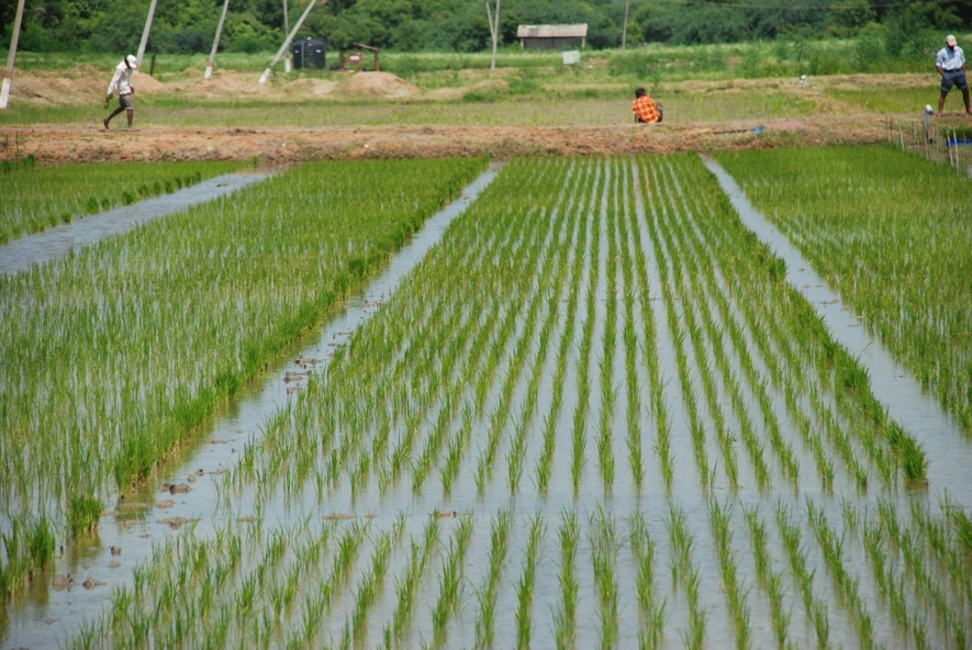 A'pura Paddy Cultivation under Parachute System