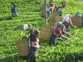 Income of a Tea Plucker exceeds Rs.30,000 to 50,000 in May