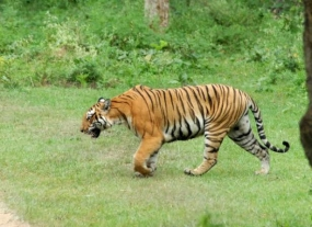 3,200 tigers left in the wild
