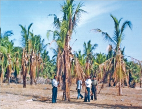 Rs.450 million paid for felling Coconut trees infected with leaf wilt disease