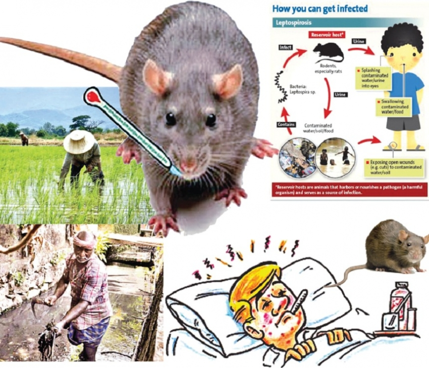 Alarming rat fever outbreak