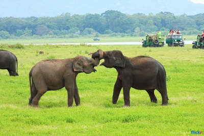 Elephants at Minneriya National Wild Life Park attract tourist