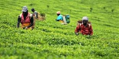 Tea Production in November decreases, while tea exports increase