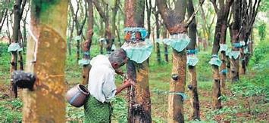 Concessions to rubber cultivation to be doubled