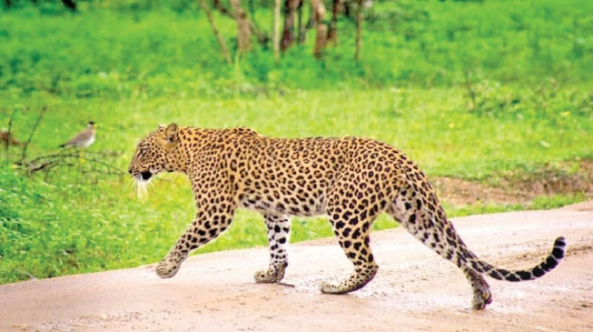 Secure future for leopards