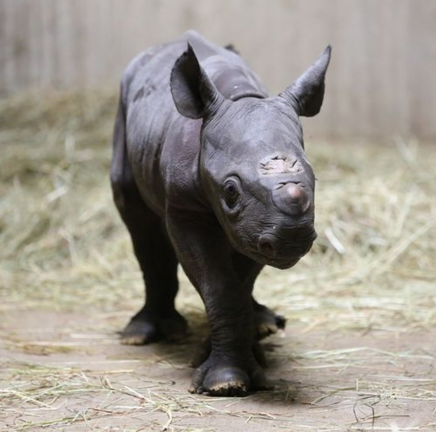 Rare Black Rhinoceros Calf born in Dehiwala Zoo