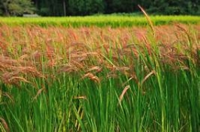 Agriculture Minister instructs to grow traditional paddy, black gram