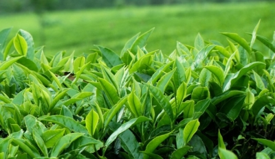 Kuwait consumes 12.3 million kilograms of tea from Sri Lanka – '$1.65 billion tea business thriving'