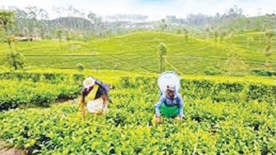 Week's tea auction offerings tops 6.5 M/Kgs