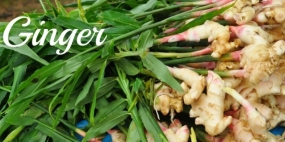 Govt.commences Ginger Cultivation in Kurunegala District