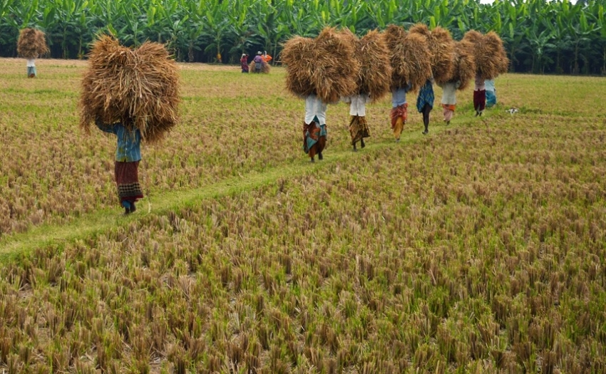 The paddy harvest exceeds over 18,000 metric tons