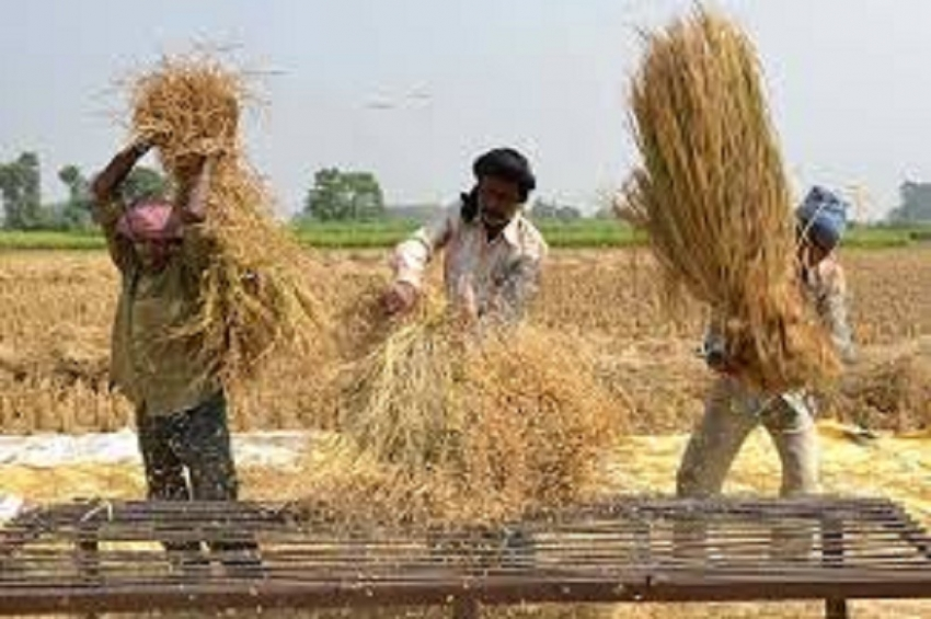 Accelerated programme to purchase paddy during the Maha season