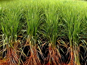 Sugarcane to be cultivated in Badulla District