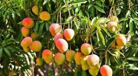 Rapid agriculture development Mangoes to lead project