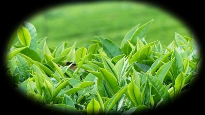 Safety at work, a serious concern for tea smallholders - ILO