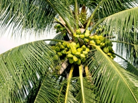 Strategic Plan to upgrade Coconut Cultivation