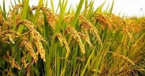 New rice variety to help prevent diabetes