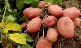 Bumper Potato harvest during Yala Season