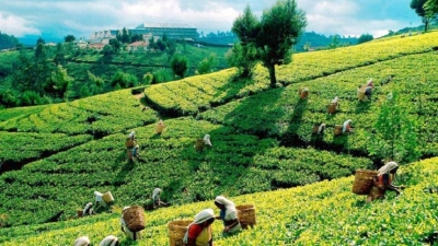 Tea Board to commence replanting